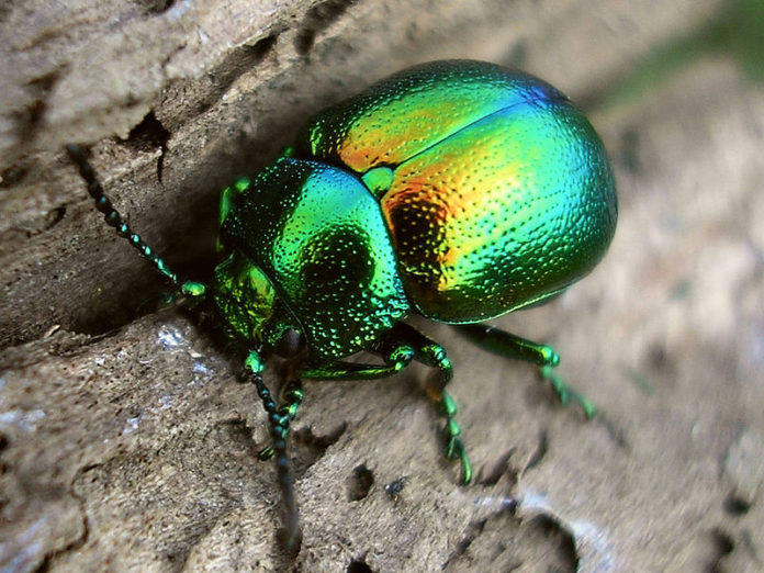 escarabajo-tantrico-696x522