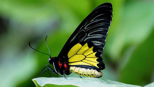 ornithoptera-euphorion-especie-mariposa-australia_ediima20190226_0488_19